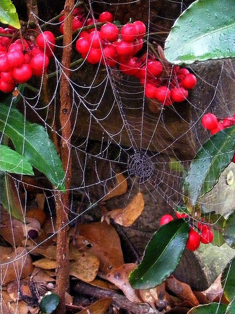 This is a dewy spider web I discovered early one morning in my backyard.