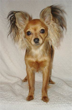 Sassafras Moccasins, a Russian Toy Longhair Terrier, all grown up at 1½ years old.