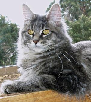 ผลการค้นหารูปภาพสำหรับ beautiful maine coon cat
