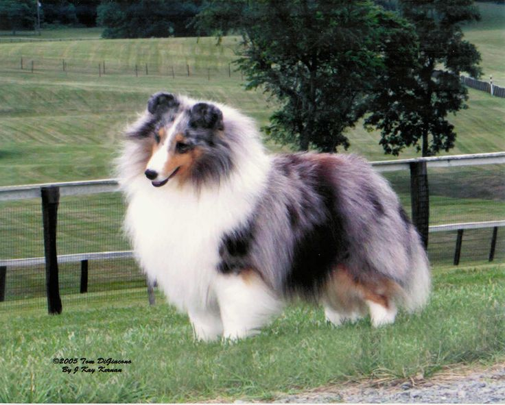 Beautiful Blue Merle Shetland Sheepdog...my all-time favorite dog...elegance and loyalty in one sweet, fluffy package!!! <3