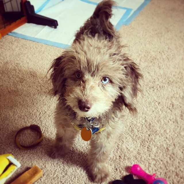We Are In Love With Our Newest Pet Sitting Client Meet Pomapoo Puppy Finn Caninecompany Petsitting Petsitterct Wiltonc Pets Cute Puppies Beautiful Dogs