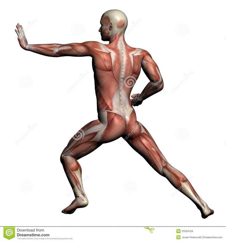 60 best Anatomy images on Pinterest | Menschliche anatomie, Muskel ...