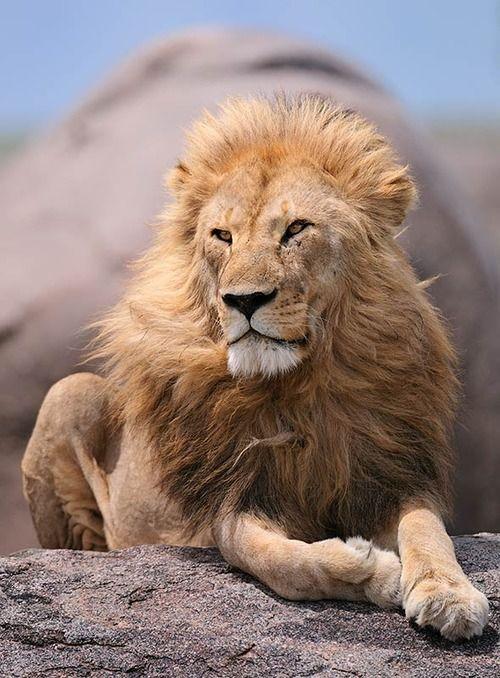 картинка сидящий лев сок вино него