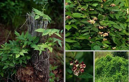 Ground Nut- edible roots grows near thicket side streams and in open spaces of forest. Usually found near poison ivy.