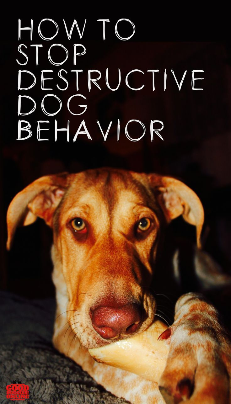 How To Stop Destructive Dog Behavior Dog Behavior Dog Training