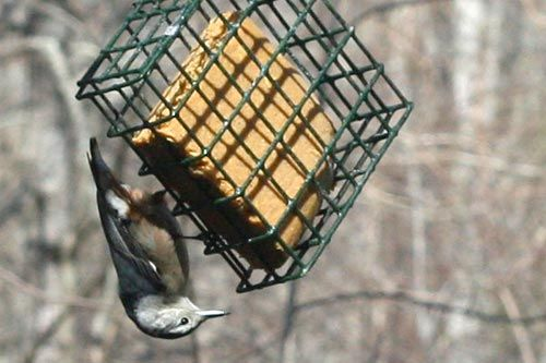"DIY: Peanut Butter ""Suet"" Cakes for Birds"