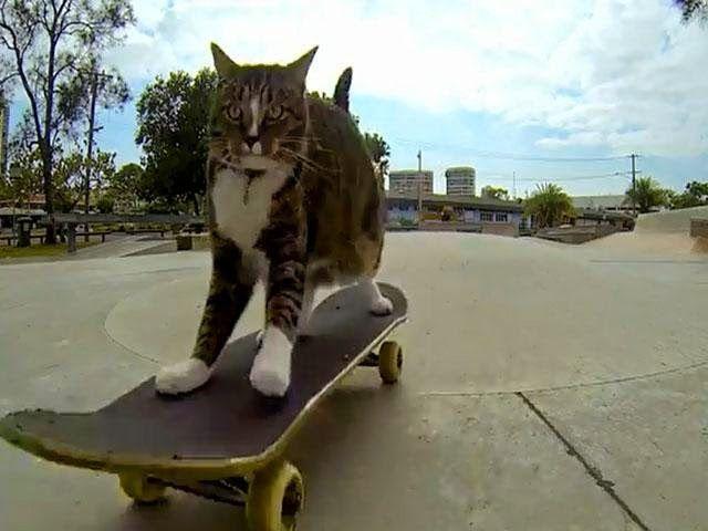 En Australia ya es toda una celebridad, se trata de Digda, un gato que ha causado sensación en YouTube por las maniobras que realiza sobre una patineta.