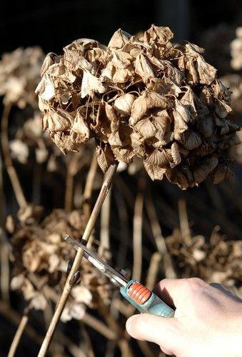 Comment tailler les hortensias                                                                                                                                                      Plus