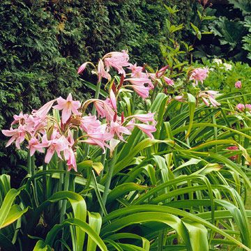 Swamp Lily.   A top marsh or water-garden plant, swamp lily bears beautiful clusters of pink or white flowers from spring to fall and long, blue-green, strap-like leaves.  Name: Crinum americanum  Growing Conditions: Full sun and moist to wet soil  Size: To 4 feet tall