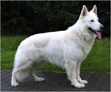 White German Shephard.  My girl actually looks a lot like this--all white Husky, Staffordshire, Dachsund, White Swiss Shepard mix