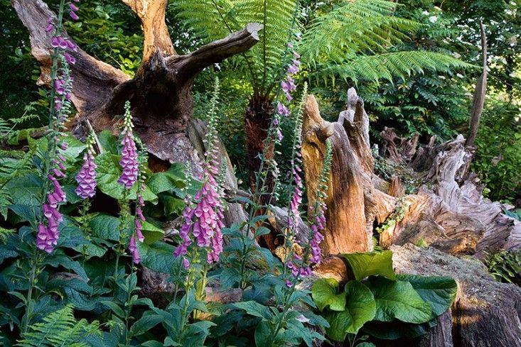 Foxglove in Prince Charlie's stumpery. Highgrove visit. Gardenista. Photo copyright Andrew Lawson