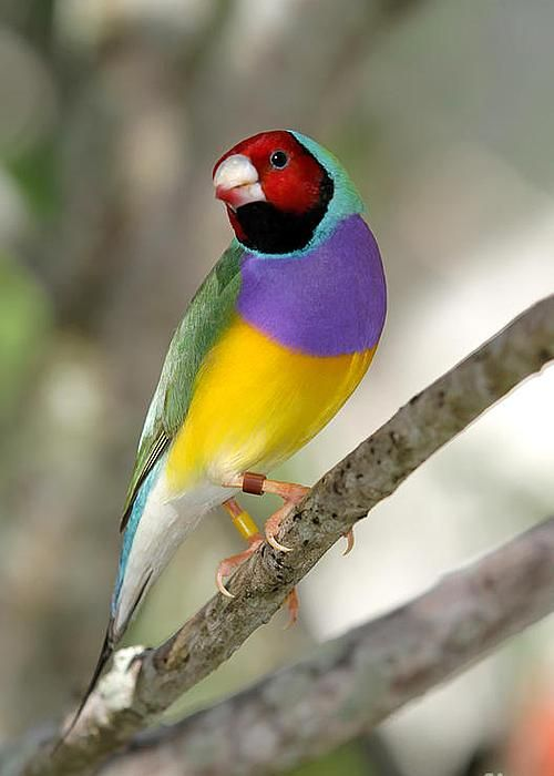 Colorful Gouldian Finch by Sabrina L Ryan*
