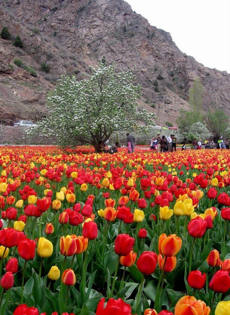 Tulip garden, Karaj, Iran