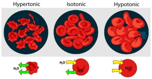 Osmotic pressure: An illustration showing the effects of osmotic pressure on red blood cells. On the left, the cells are in a hypertonic environment, causing water to flow across the cell membrane out of the cell. Cells are shown in an isotonic environment in the center, and in an hypotonic solution on the right. Image credit: Mariana Ruiz
