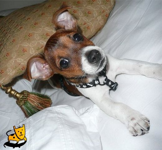 Chester the Mini Jack Russell 1