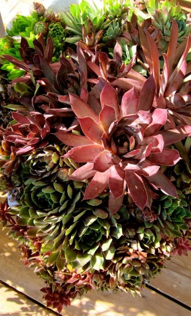 The magnificent and tough succulents pouring out of an old urn. #PotentialistCanada