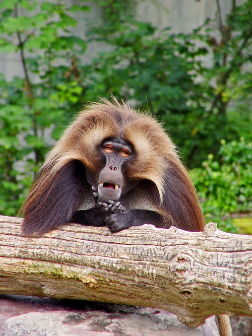 Gelada baboon (by Tambako the Jaguar)