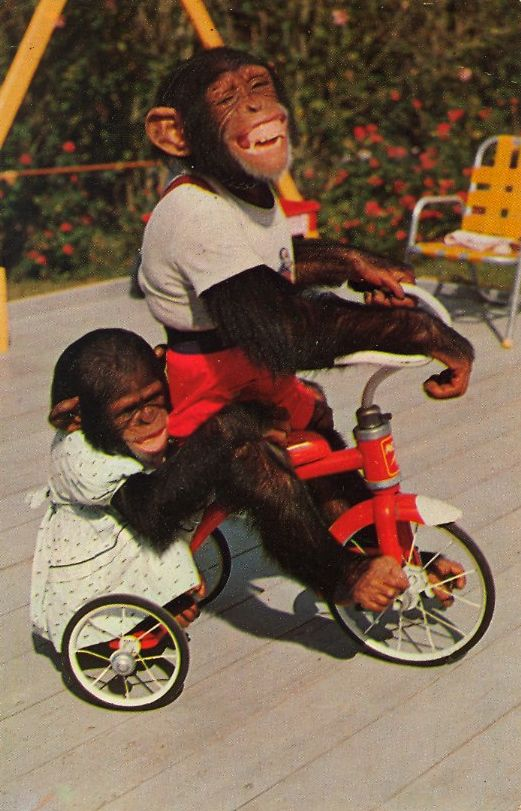 Chimpanzees at the Monkey Jungle, 22 miles South of Miami, Florida.