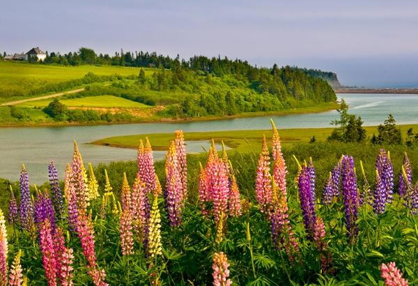 Lupines in Bloom, New Brunswick