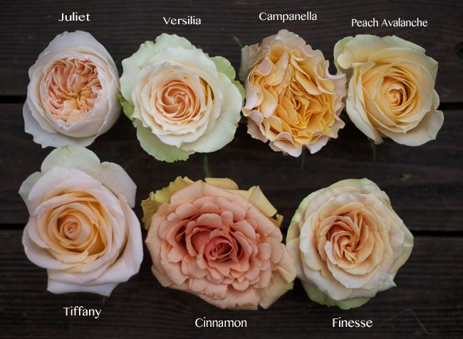 Flirty Fleurs Peach Rose Color Study, Versilia, Campanella, Cinnamon, Juliet, Tiffany, Finesse, Peach Avalanche