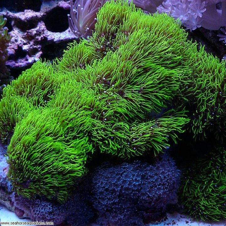 Metallic green star polyps86 best Corals images on Pinterest   Coral reefs  Saltwater  . Green Star Polyp Lighting Requirements. Home Design Ideas