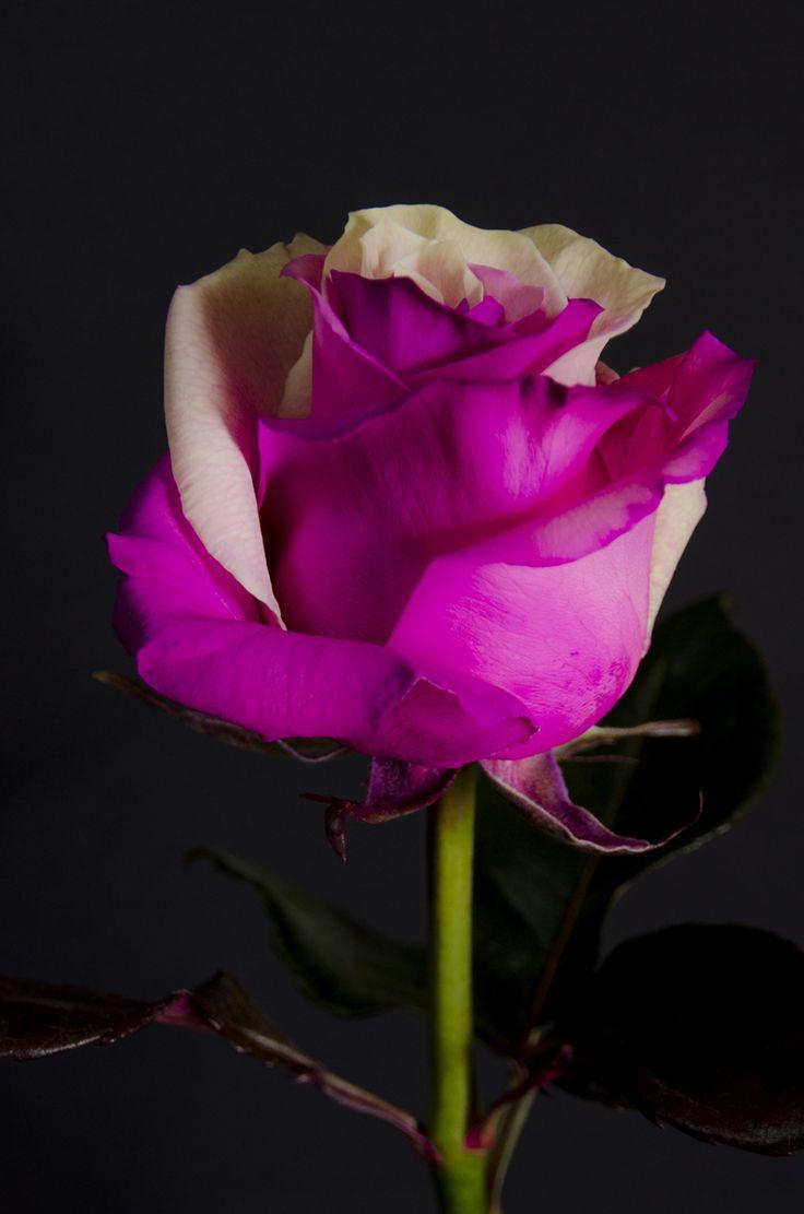 ✿⊱❥ TWO COLOR - Eden Roses Ecuador                                                                                                                                                                                 Mais