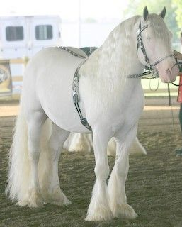 White Gypsy Vanner Horse BEAUTIFUL, but I'd hate to be the one having to try and keep her clean ;-)