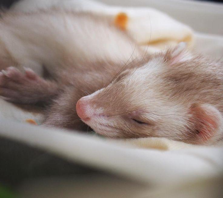 . good morning☀️ . 22時には眠くなっちゃうので なかなか皆さんのライブ配信を見れない日々…😭 . . めんまもぐっすり😪 . . #フェレット #ferret#ferretgram#instaferret#ferretism#ferretlove#pet#instapet#cute#instacute#instagood#animal#ふわもこ部#めんま