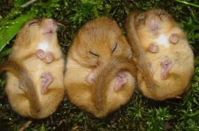 sleeping doormice... so wen i 1st glanced at this thumbnail, def thot it was 3 potatoes lmao