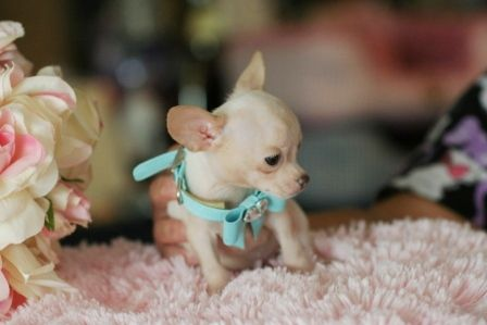 Chihuahua Puppies For Sale \  Are you still selling your Chihuahua?  Are these dogs from puppy mills that I hear horrible things about?