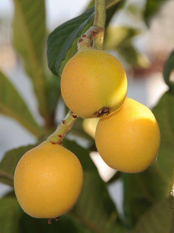 xl Cold Hardy Eribotrya Japanese Plum Tree, orchard size 8″ round pot