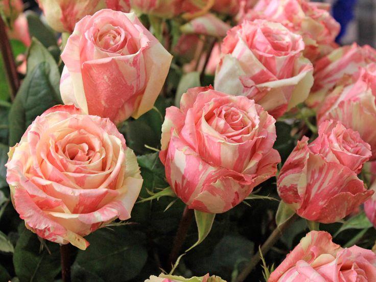 Como podar corretamente as roseiras Quer uma roseira carregada de flores? Não tenha dó de podar drasticamente a planta. Sem esse cuidado anual, a planta produz poucas flores, fica com o formato desengonçado e, pior, vive pegando prag…