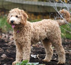 goldendoodle haircuts | Multigen Petite/Mini/Medium Goldendoodles page 7