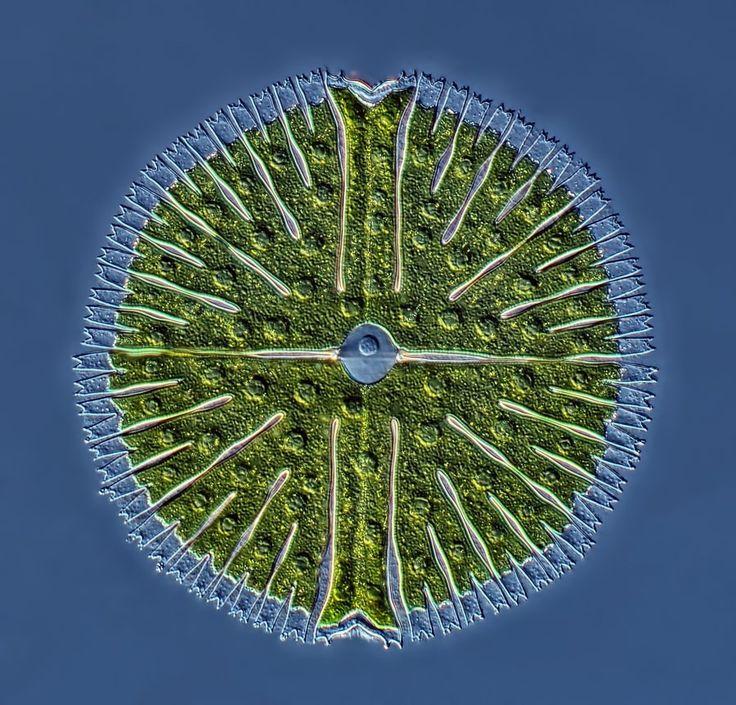 Nature's fractal symmetry - Rogelio Moreno Gill, Unicellular green alga Micrasterias