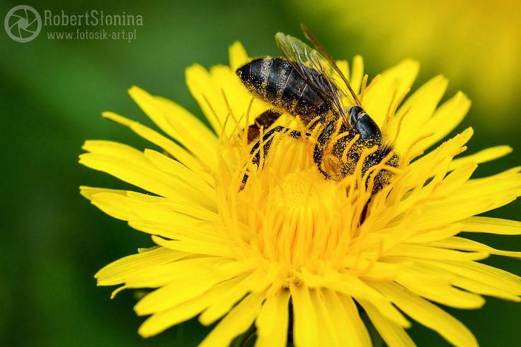 Zdjęcie pszczoły na mniszku