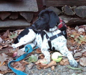 Black German Short Haired Pointers on best buy gsp