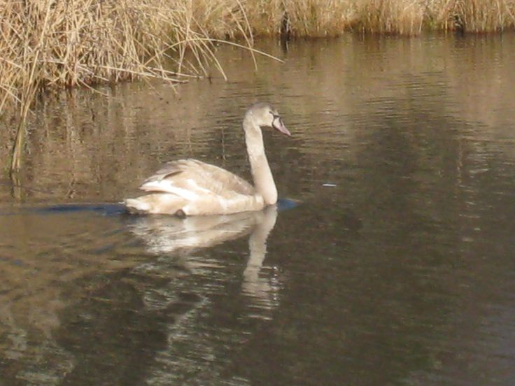 One of the Mute Swans at Wairakei Golf + Sanctuary, June 2015.