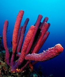 Red Tube Sponge  The size of sponges ranges from one millimeter to the size of a barrel