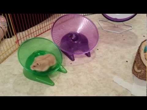 russian dwarf hamster accessories
