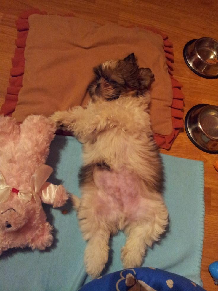 Shih tzu sleeping