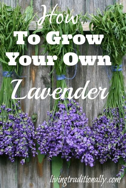 How To #Grow Your Own #Lavender. Lavender is an herb that has been used for centuries and offers a plethora of health benefits. Originally grown in the Mediterranean, lavender flowers and oil are widely used. Lavender also grows quite well in containers. In the Deep South, it actually does better in pots, as it benefits from improved drainage and air circulation. #gardengrowingtips