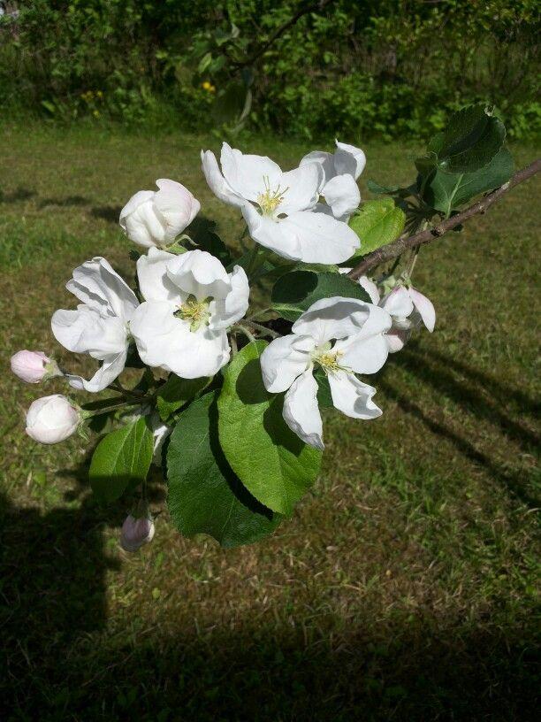 Omenapuun kukkia