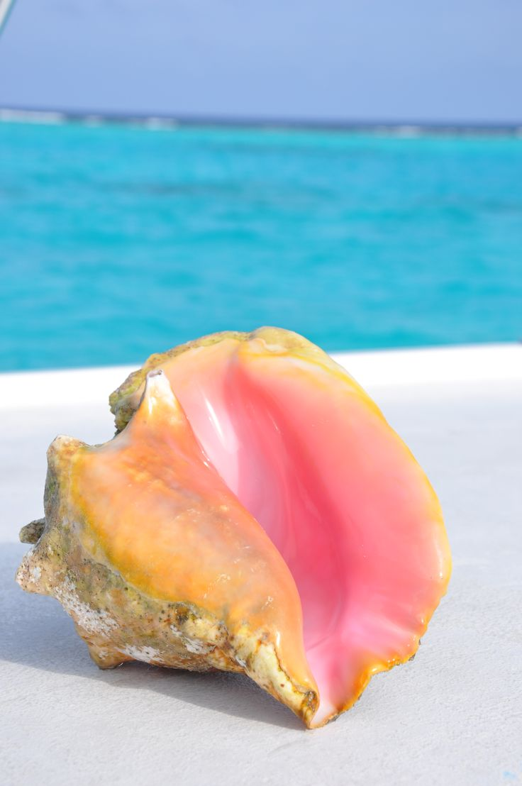 Conch Shell... Grand Cayman Islands. I actually hit my toe on one of these while swimming with the sting rays (a $500 fine if you bring this back with you tho)