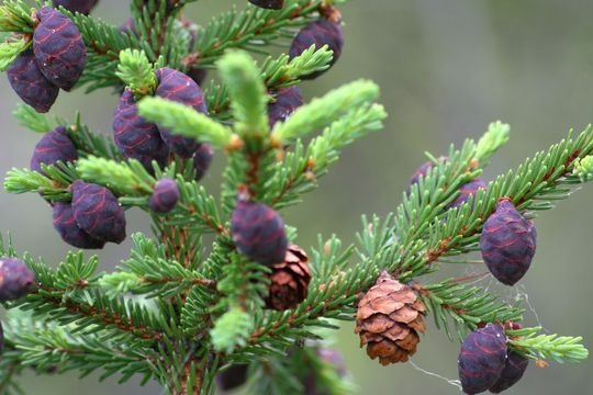 Picea mariana. Black spruce is the most important pulpwood species of Canada and is also commercially important in the Lake States, especially Minnesota. http://eol.org/data_objects/13487095