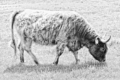 bwstock.photography - photo | free download black and white photos  //   #long-haired #cow