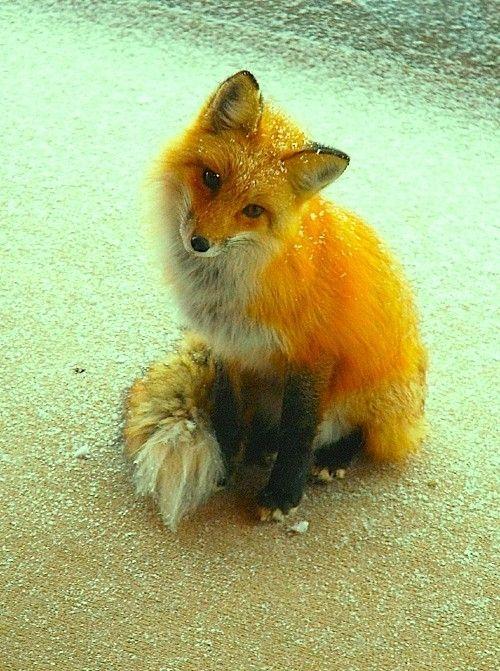 cute fox | cute foxies | Pinterest | Cute Fox and Foxes