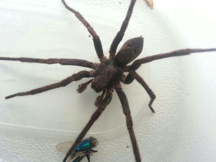 big spider blue fly