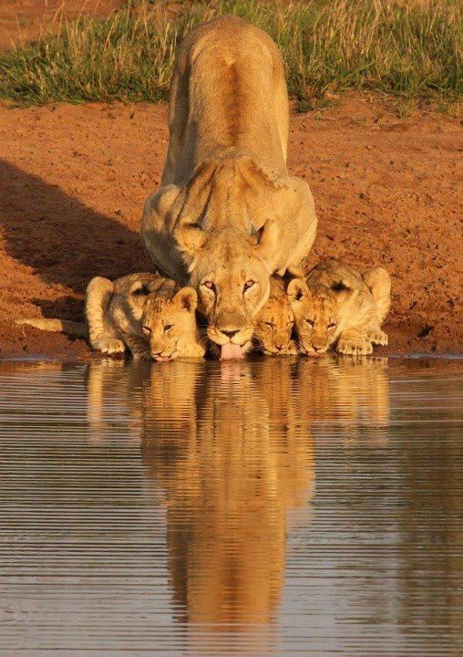 Lion mum drinking with her cubs