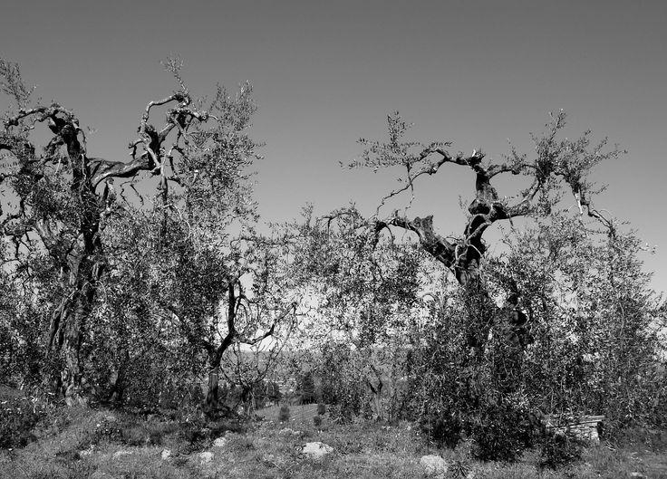 Due olivi.