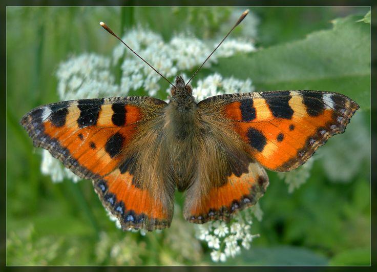 Бабочка крапивница (Aglais urticae) - Мимиходом - Doctor-X - Участники - Фотогалерея iXBT